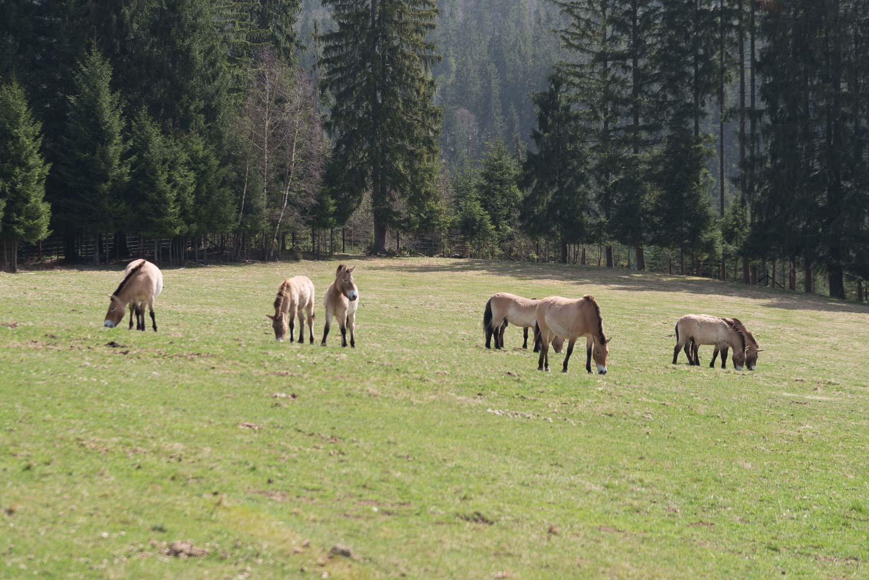 Sieben Wildpferde auf der Weide im Tierfreigelände
