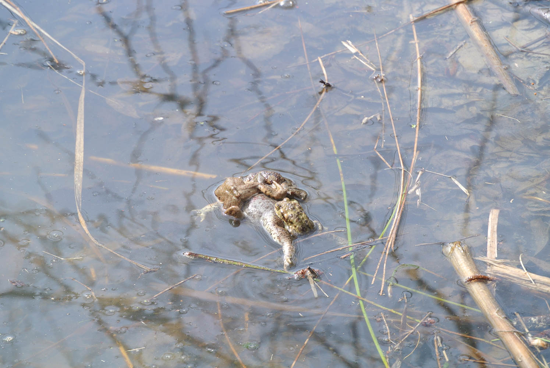 Krötenpaarung